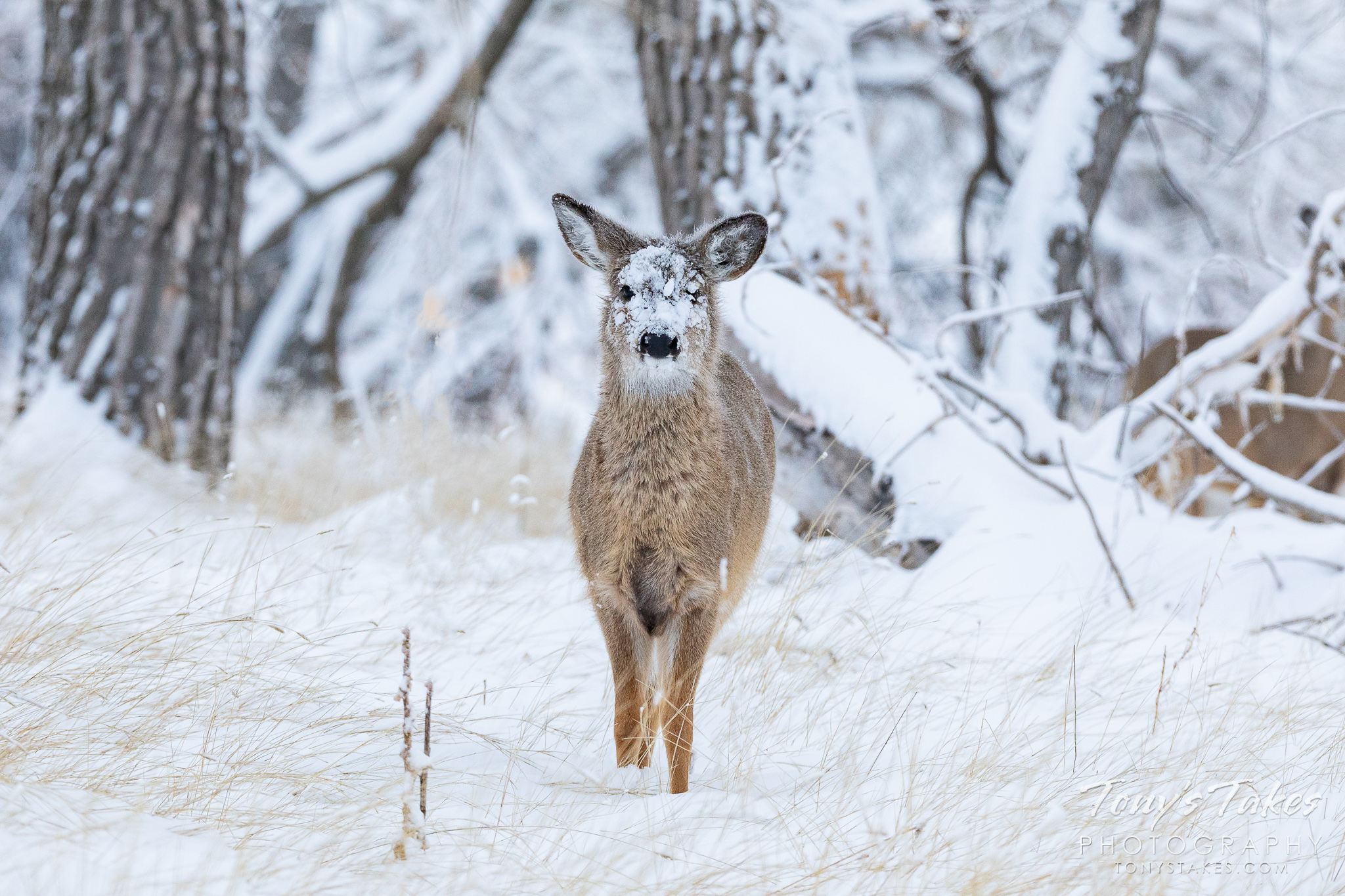 A young white-tailed deer with its face covered in snow. (© Tony's Takes)