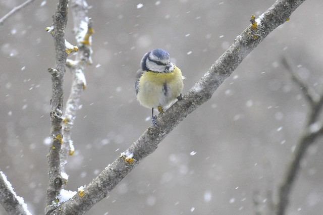 Blue tit in the blizzard