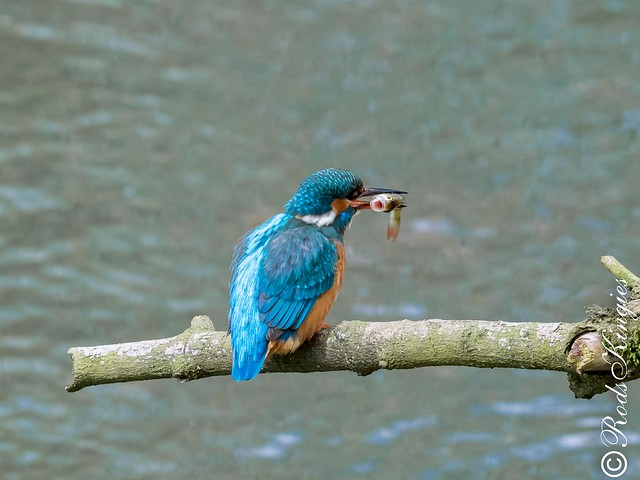 Kingfisher or two