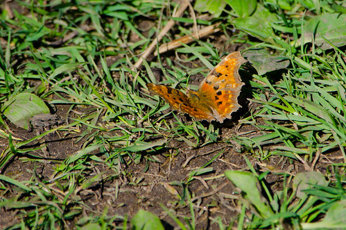 Comma butterfly on ground, Compton Rough