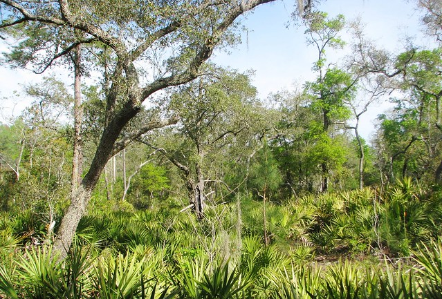 Oak trees and Saw Palmettos 2759