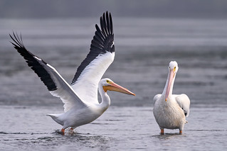 You can do it! American White pelican taking flight while another pelican cheers him on at low tide at J.N.