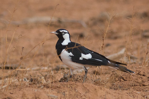 Magpie-lark  - male | by steve happ