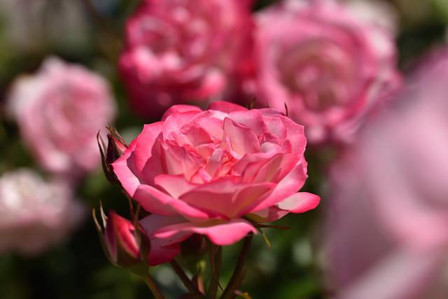 Rose 'Bordure rose' raised in UK