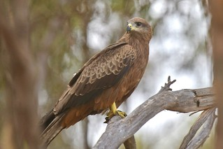 Black Kite ( this shot was taken from the car window ) | by friendsintheair