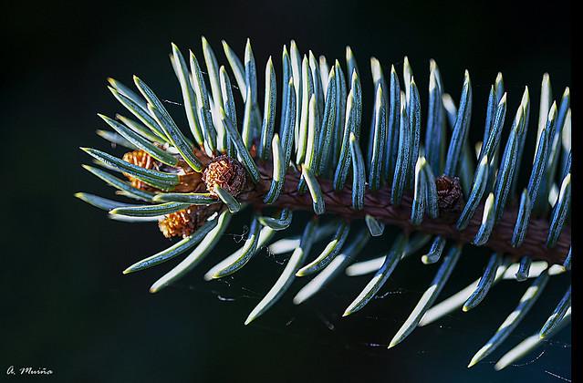 Branch of blue spruce. Rama del abeto azul