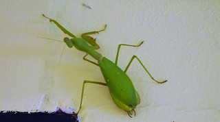 Bajawa on the Island Flores in West Timor. Green bug on the wall.