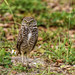 Burrowing owl by Mike_FL