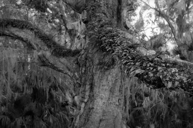 Cloaked Oak