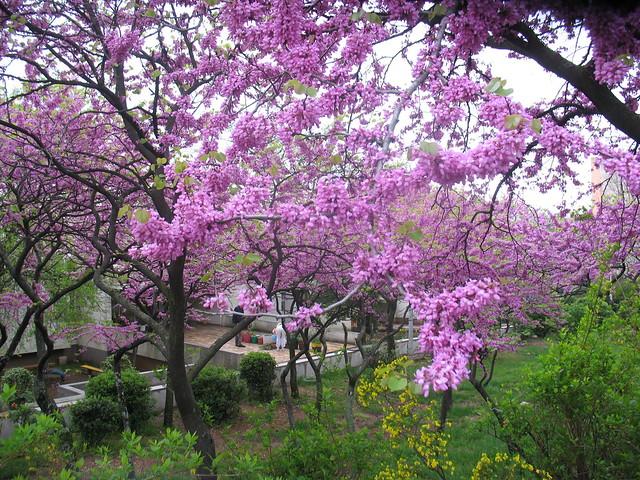Judino drvo, Stablo ljubavi, Cercis siliquastrum