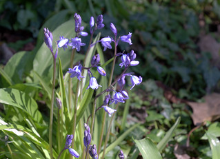 First bluebells at Haslam Park   by Tony Worrall