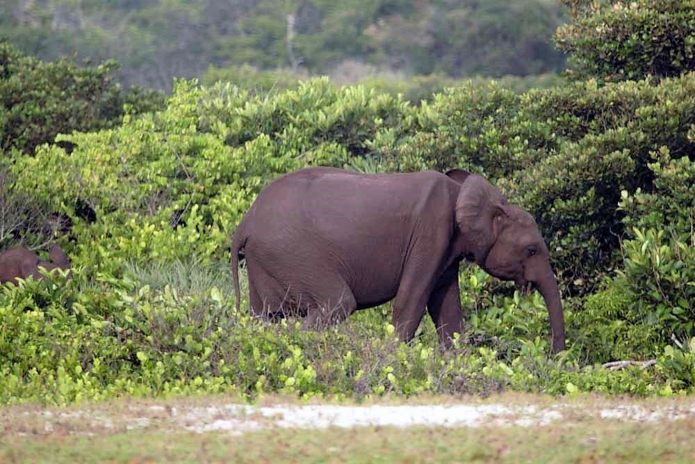 Forest elephant at the beach in Loango National Park in Ga