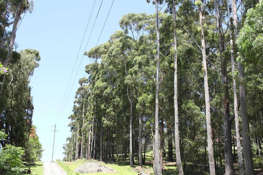 Blackbutt (Eucalyptus Pilularis) 30 To 40 Metres Tall
