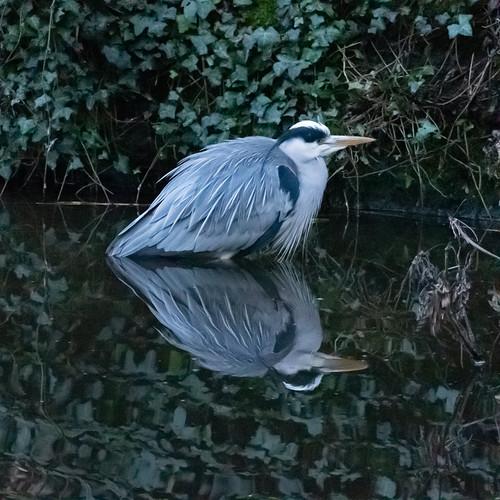 Heron, canal edge, Aldersley Junction