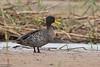 Yellow-billed Duck, Anas undulata by Kevin B Agar