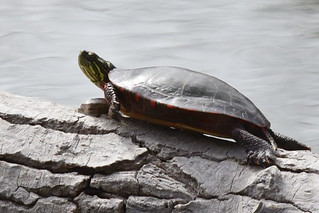 Painted Turtle, Chrysemys picta (1) | by Herman Giethoorn