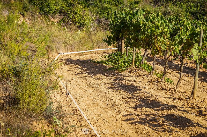 Viñedo de la Roqueta protegido contra jabalíes