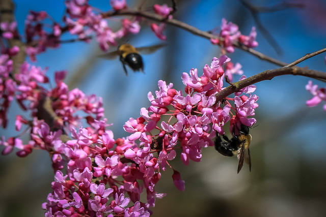 Red Bud Tree with Bee's (2250)