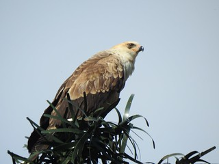 Seen in Rivonia, Jhb. Any ideas on what it is?  Was vocal. Closest sound from sasol birds app is long- legged buzzard