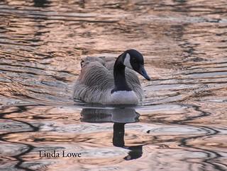Canada Goose - Veterans Park | by llowe1111