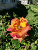 Redgold Roses in Bloom