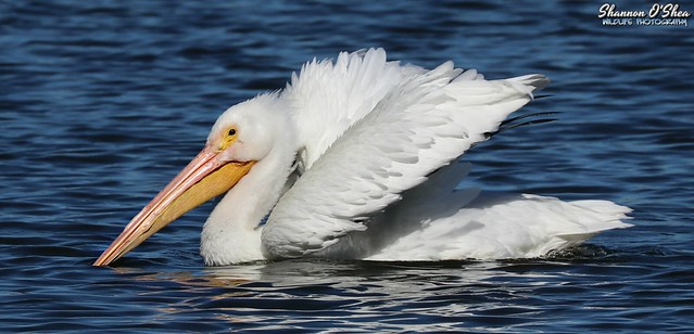 The pelican that thought it was a swan