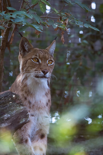 Lynx | by Cloudtail the Snow Leopard