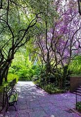 Landschaft - Park mit bl�henden Judasbaum