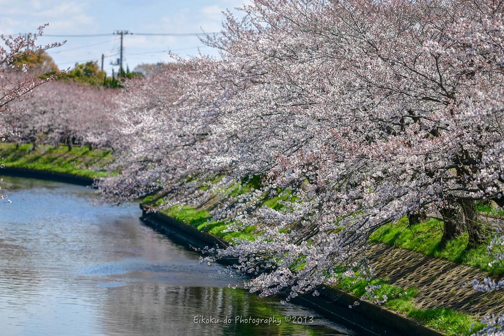 Yoshino cherry tree at Ebi River /  Funabashi-city