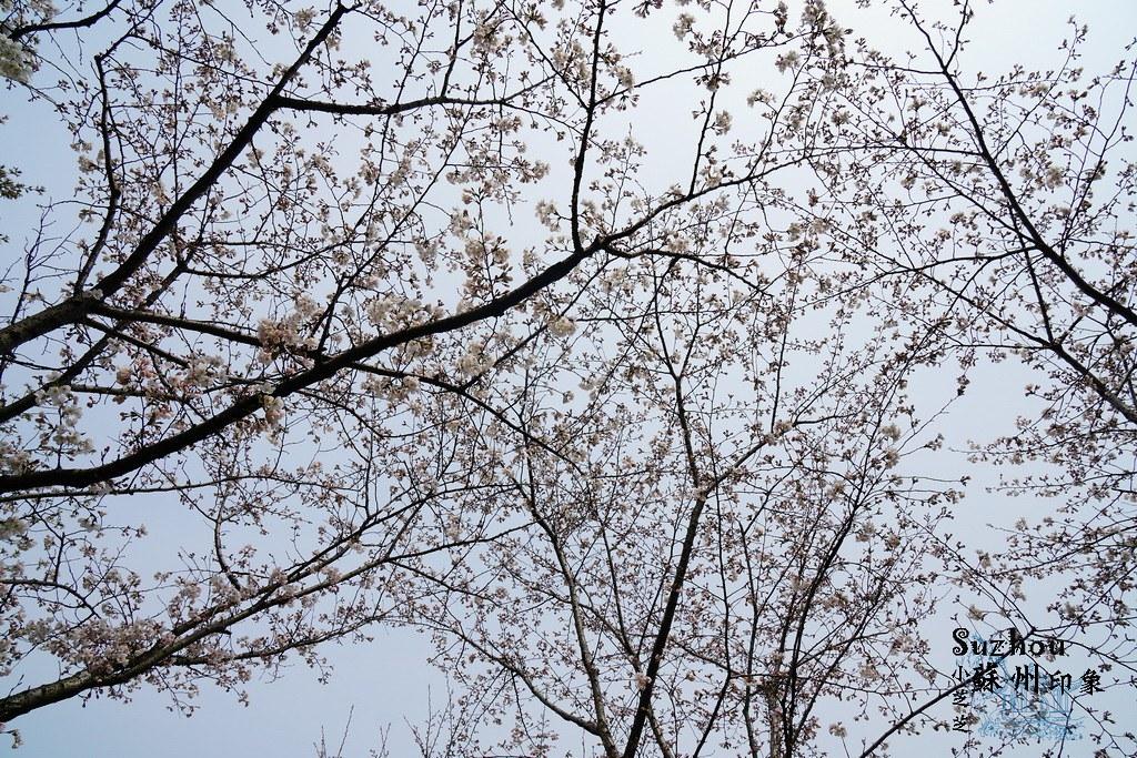 【春遊蘇州】 賞花勝地TOP5景點攻略整理!