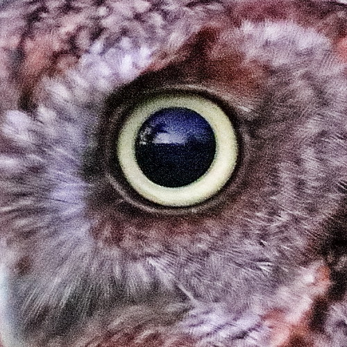 Eastern Screech-Owl EYE-20190402