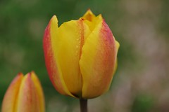 This, too, is a tulip