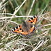 Small Tortoiseshell butterfly at Chesworth Farm, Horsham