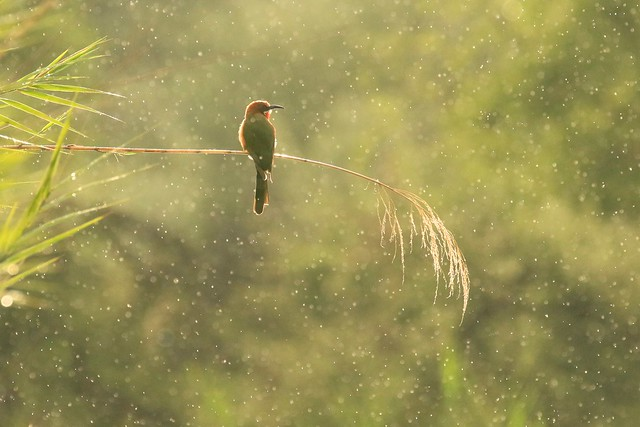 bee-eater in the rain.