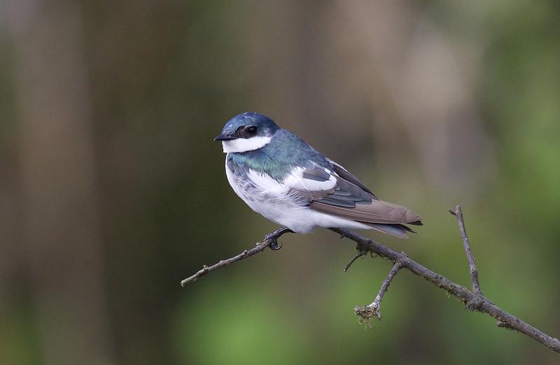 White-winged Swallow, Tachycineta albiventer Ascanio_Peruvian Amazon 199A6362