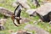 Jackal Buzzard, Buteo rufofuscus by Kevin B Agar