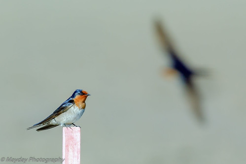 Welcome Swallow and incoming | by Graham Mahoney