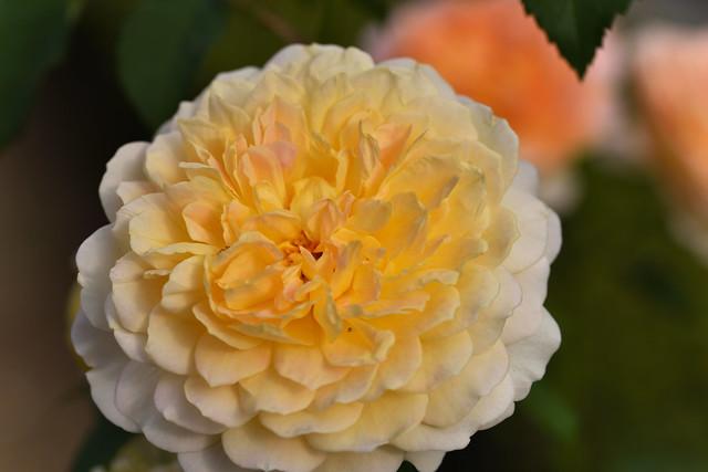 Rose 'Molineux' raised in UK