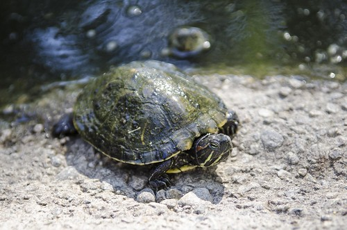 Throop-Pond-Turtles_3144