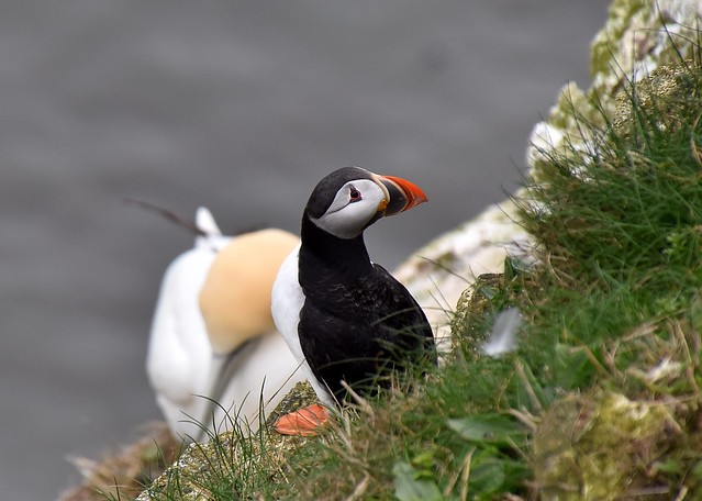 Puffin with a gannet backdrop.