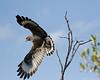 Cuban Black Hawk (Buteogallus gundlachii ) by GH Rancher