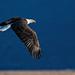 Eagle in Flight #36 by lennycarl08