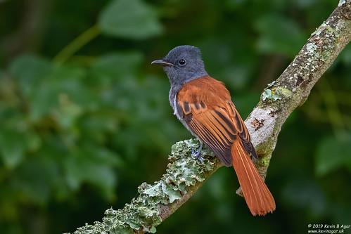 africanparadiseflycatcher birds southafrica terpsiphoneviridis