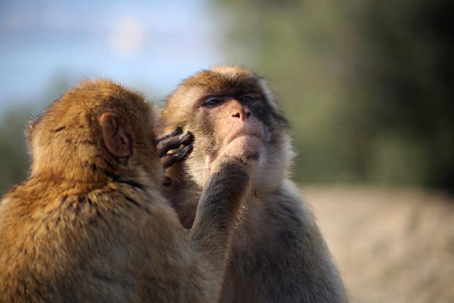 Barbary macaques, Gibraltar