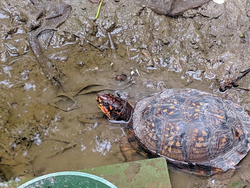 История началась утром сегодня, когда утром я обнаружил в своем огороде черепаху.