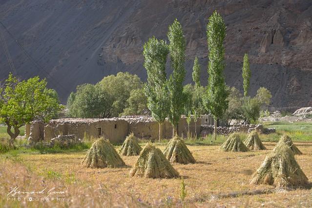 Petites meules en cours de séchage dans un champs, Zood Khun, Vallée Chapursan  © Bernard Grua