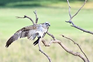Osprey ( THe big wing Stretch )   by friendsintheair