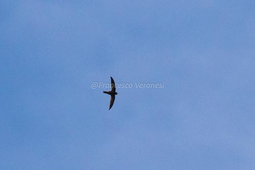 83swifts birds riftvalley kenya africa scarceswift
