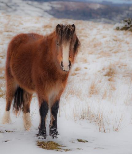 Llangors horses 5626A (philip hayman)