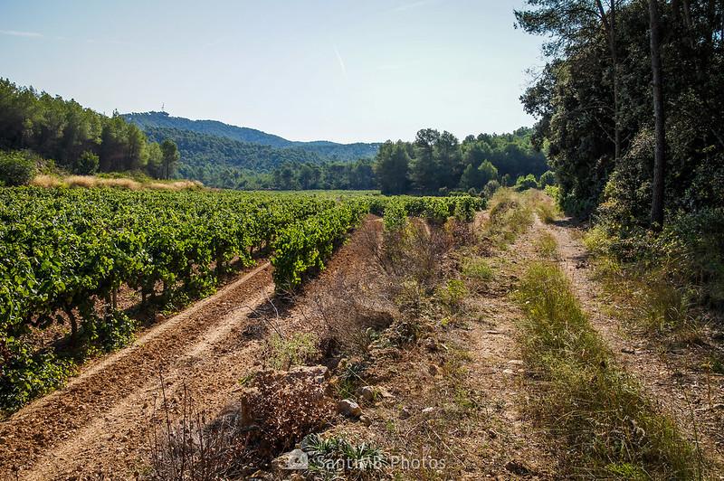 Entre viñedos de la Roqueta en Olivella